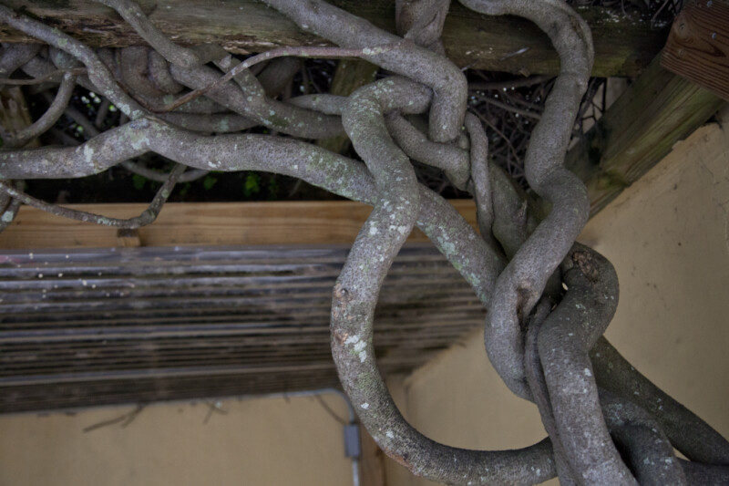 A View of Interwoven Vines
