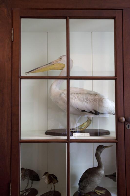A White Pelican