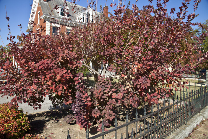 A Wrought Iron Fence around a Shrub with Red Leaves