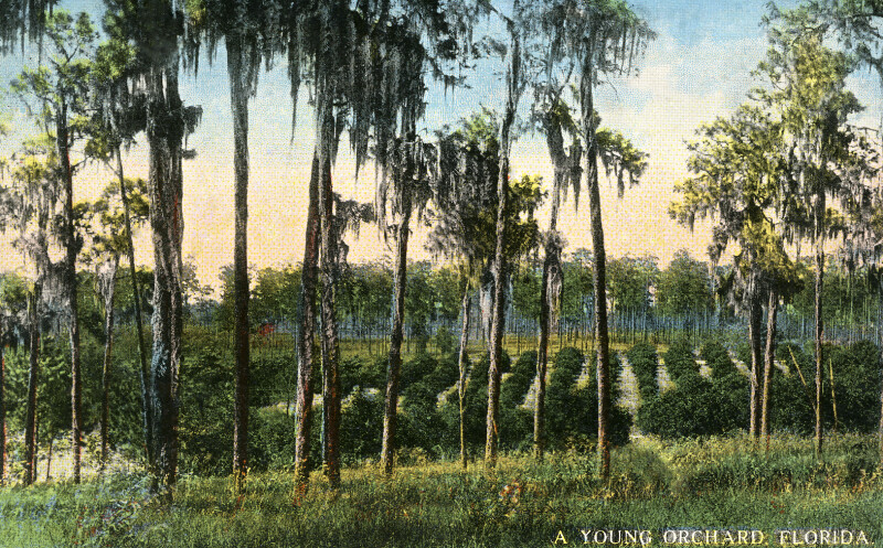 A Young Orchard in Florida