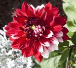 """Aachener Karneval"" Flower"