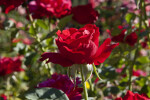 "AARS Winning ""Opening Night"" Hybrid Tea Rose Flower"