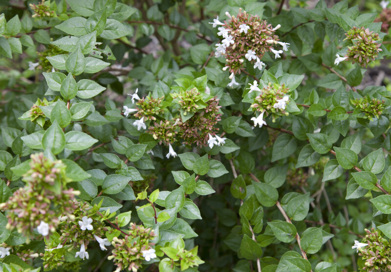 Abelia 'Rose Creek' Shrub at the Kanapaha Botanical Gardens