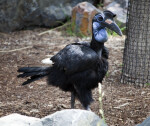 Abyssinian Ground Hornbill Standing