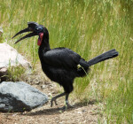 Abyssinian Ground Hornbill Walking