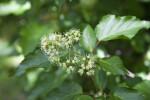 Acer aizuense  Flowers
