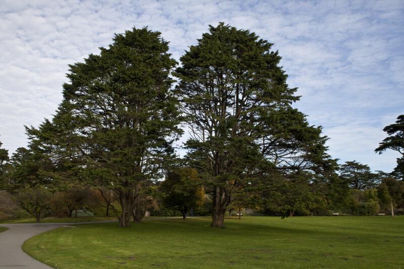 Adjacent Coniferous Trees