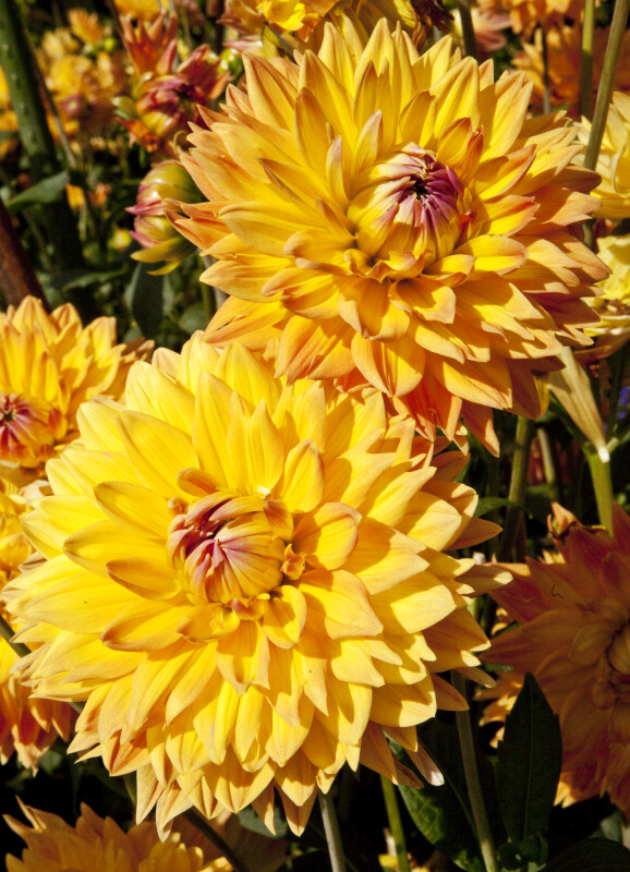 """Adlerstein"" Dahlia Flowers"