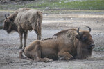 Adult European Bison