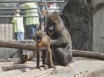 Adult Mandrill Grooming Young Mandrill at the Artis Royal Zoo