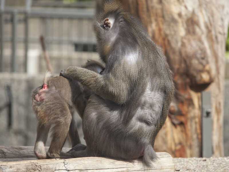 Adult Mandrill with Arm on Young Mandrill
