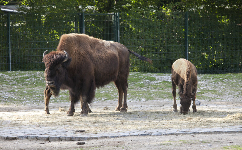 Adult Wood Bison With Calf