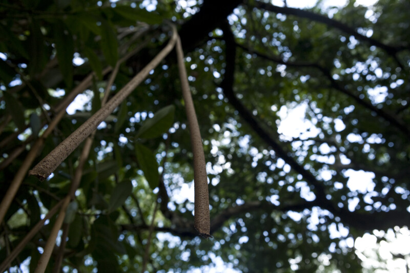 Aerial Roots Hanging