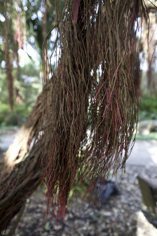 Aerials Roots