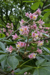 Aesculus Flowers and Leaves