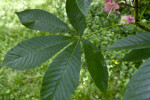 Aesculus  Leaves