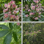 Aesculus Trees photographs