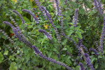 African Blue Basil at the Fruit and Spice Park