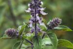 African Blue Basil Close-Up