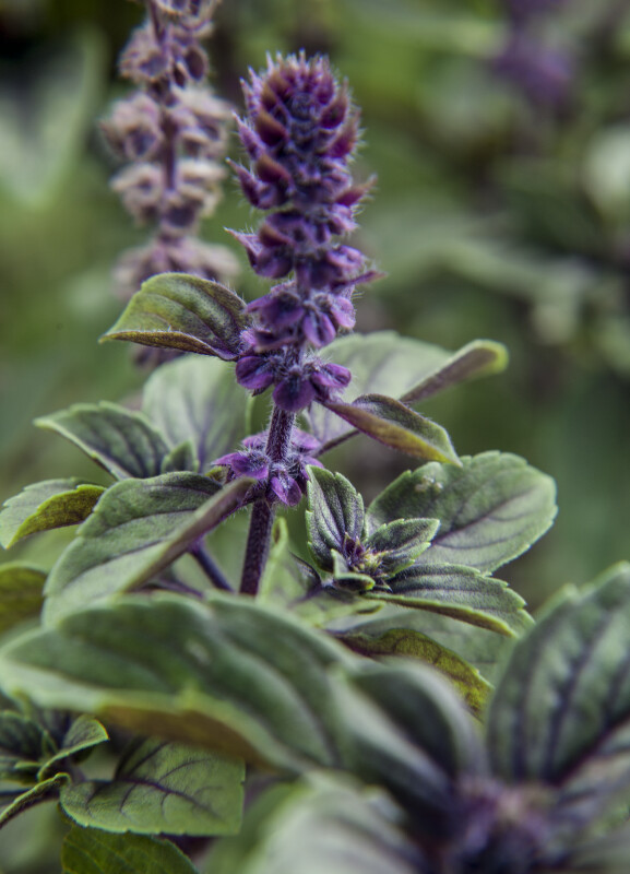 African Blue Basil Flower Stalk