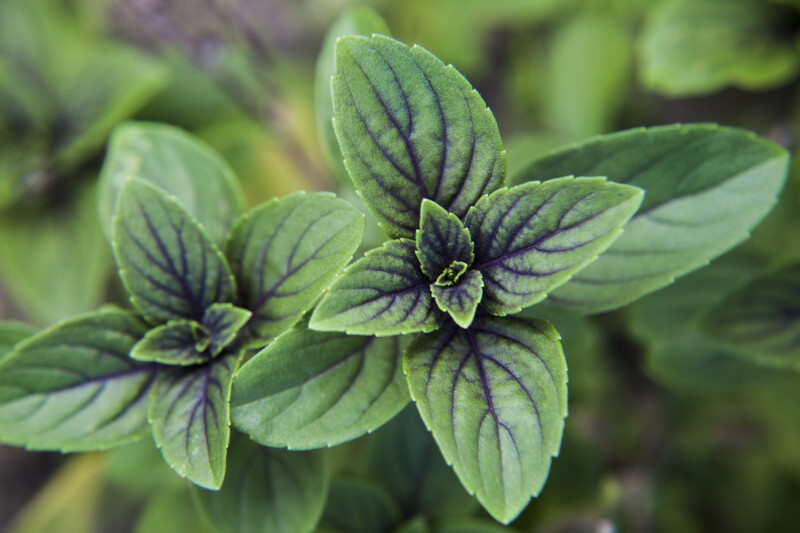 African Blue Basil Leaves