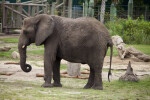 African Elephant at Lowry Park