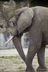 African Elephant Detail