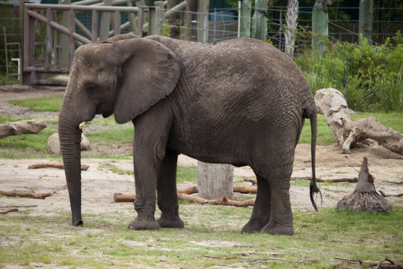 African Elephant Standing