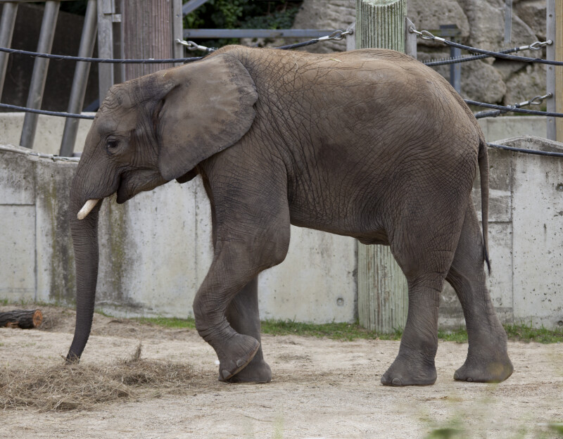 African Elephant Striding