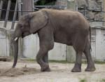 African Elephant Striding