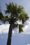 African Fan Palm