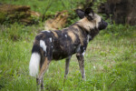 African Hunting Dog Right Side