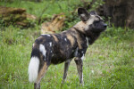 African Hunting Dog Standing
