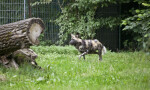 African Hunting Dog Trotting