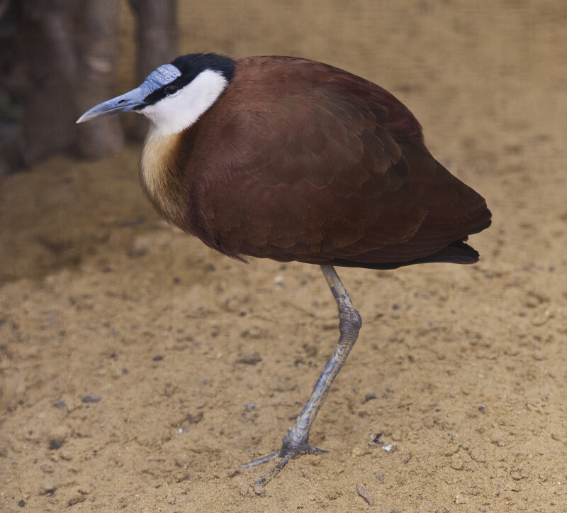 African Jacana Side