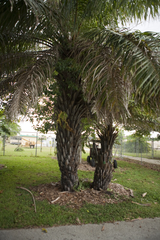 African Oil Palms