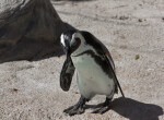 African Penguin Walking
