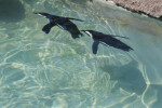 African Penguins Underwater