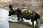 African Wild Dog in Water