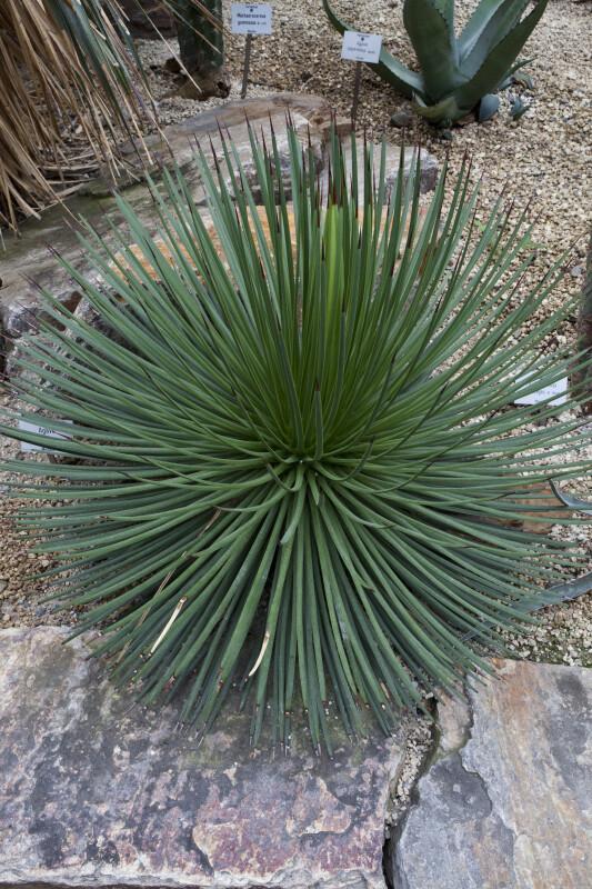 Agave bush