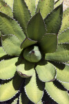 Agave Viewed Up-Close