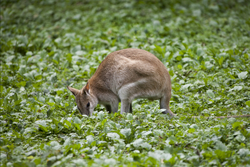 Agile Wallaby Foraging