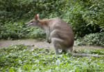 Agile Wallaby Hunched