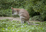 Agile Wallaby Licking