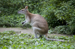 Agile Wallaby with Tongue Out
