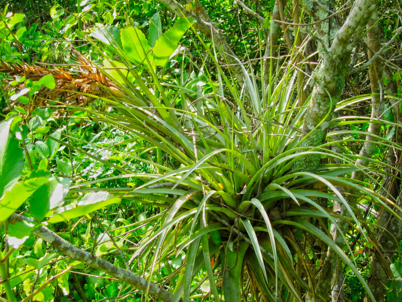 Air Plant at Mound Key