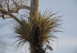 Air Plant in Tree at Big Cypress National Preserve