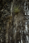 Air Plant on Trunk