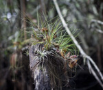 Air Plants Growing Out of Tree Branches