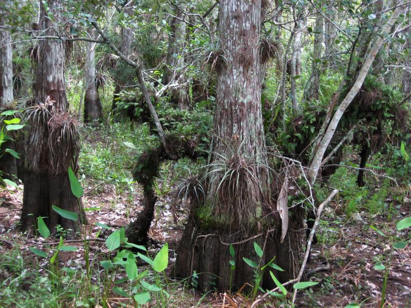 Air Plants on Cypresses